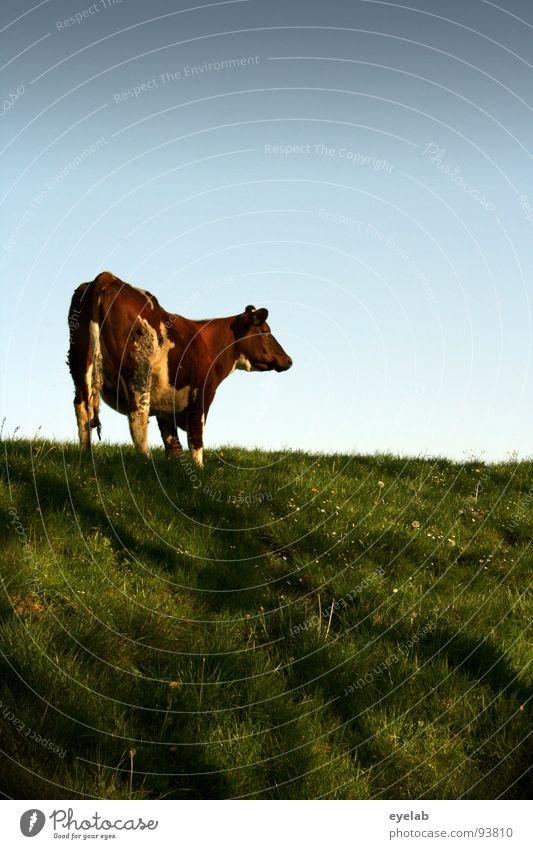 Du......(Bewegungsstudie 03:00) Kuh Rind Vieh braun Deich Gras Wiese frisch Ernährung Fressen hochwürgen Blick Schwanz Schnauze Milchkuh Euter Fleischfresser