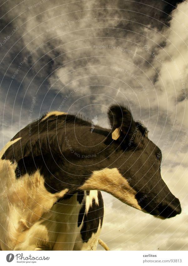 Der schon wieder :( grün Sommer Wiese Gras Glück fliegen Weide Kuh Horn Blut Säugetier anstrengen Gleichgültigkeit Steak Joghurt Metzgerei