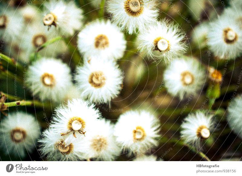 Weiße Blumen Natur Pflanze Blüte Wildpflanze Wiese Feld weiß Frühlingsgefühle schön unbeständig Ferien & Urlaub & Reisen Umwelt Vergänglichkeit Blumenwiese