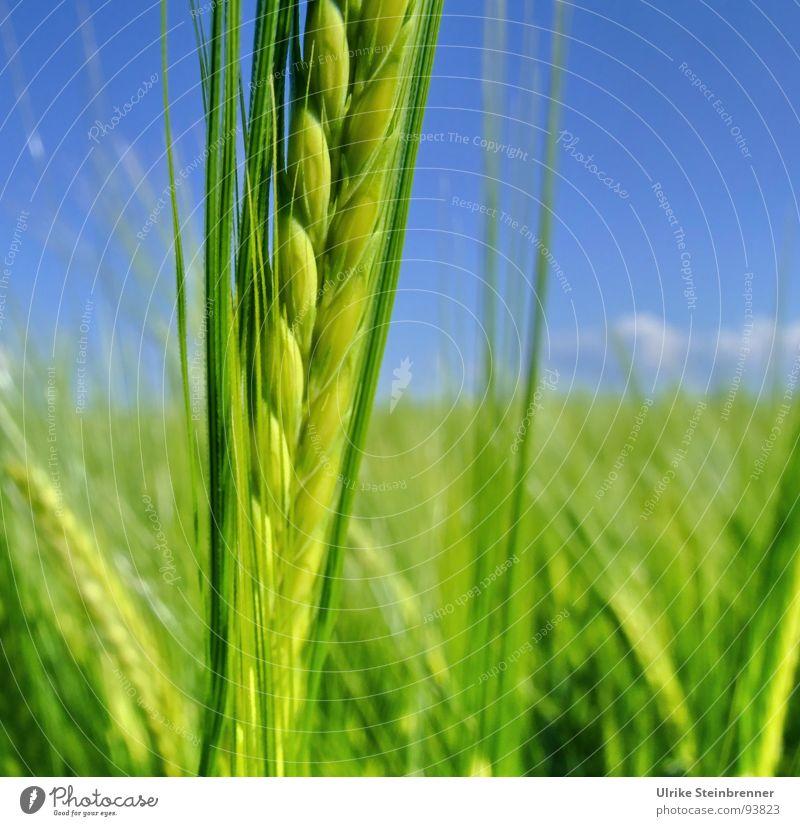 Fresh Green Natur blau grün Sommer Pflanze Frühling Gesundheit Feld Kraft natürlich Lebensmittel Energiewirtschaft Wachstum Ernährung leuchten Schönes Wetter
