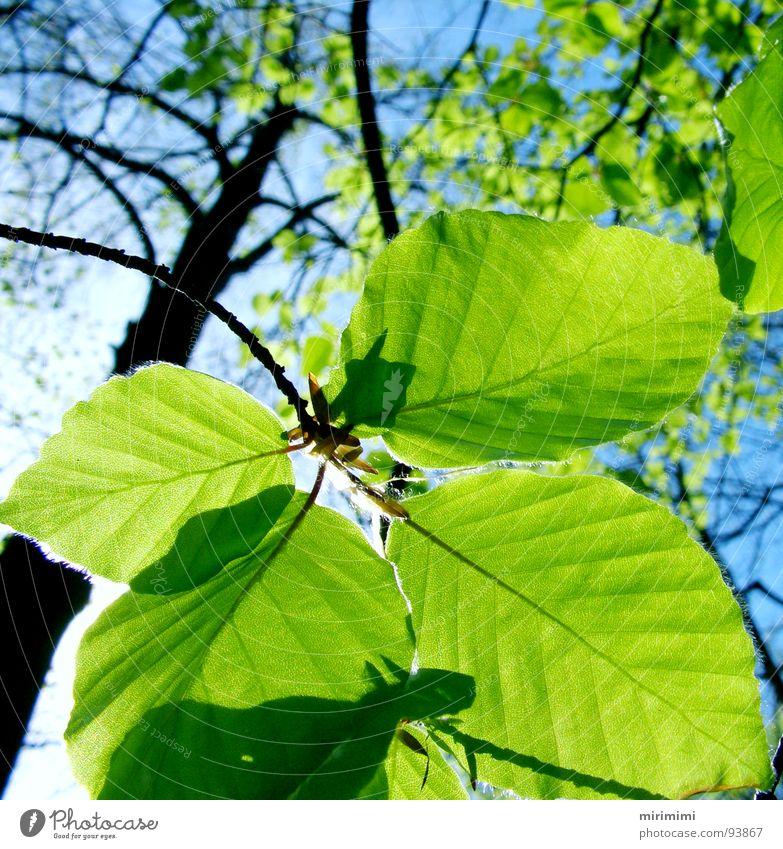Blattschatten Himmel Baum blau Wald durchsichtig