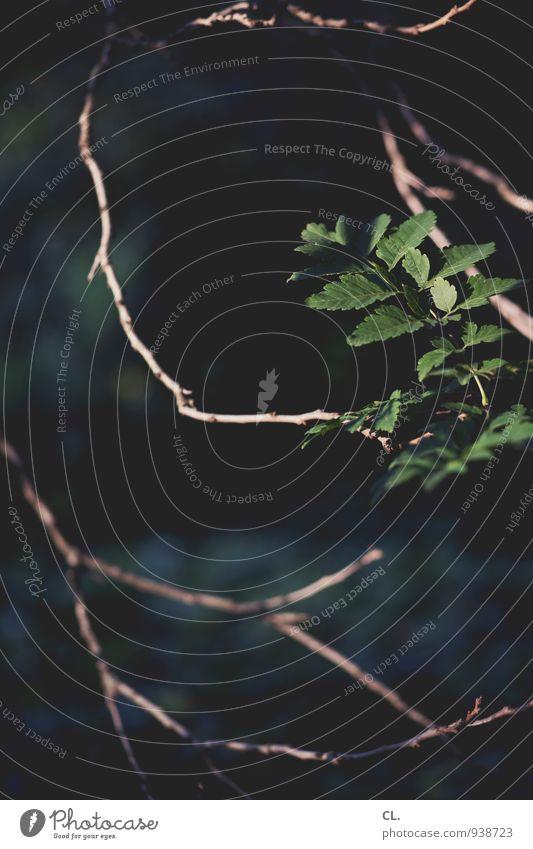 zweig Umwelt Natur Pflanze Baum Blatt Ast dunkel grün zerbrechlich zart Farbfoto Außenaufnahme Menschenleer Tag Schwache Tiefenschärfe