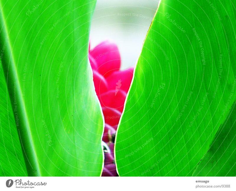 Versteckt Blume Pflanze Nahaufnahme grün rot Hawaii verstecken exotisch
