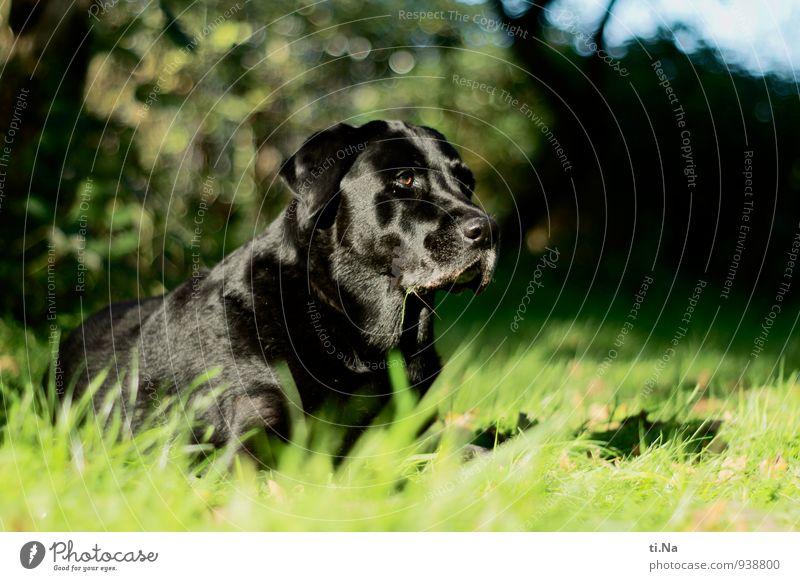 es bewegt sich Garten Wiese Haustier Hund Labrador 1 Tier beobachten entdecken Jagd Freundlichkeit feminin grün schwarz türkis Kraft Mut Überwachung