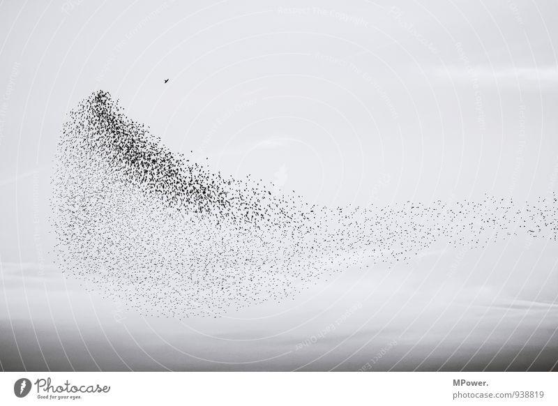 der schwarm Wolkenloser Himmel Tier Tiergruppe fallen fliegen Vogelperspektive Vogelschwarm Angriff Falken Gruppenzwang viele Zusammenhalt Schwarzweißfoto