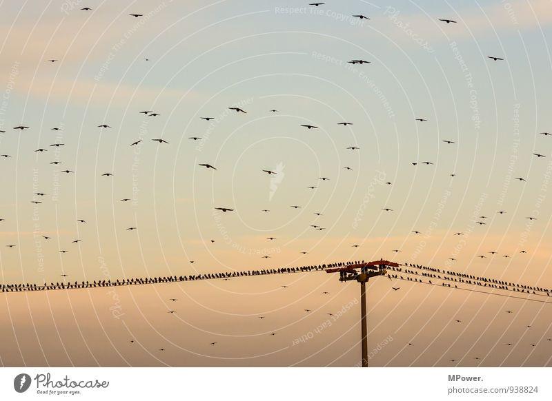 überbucht Tiergruppe Schwarm lustig Vogel Strommast Abendsonne Wolkenhimmel fliegend Vogelschwarm Landen Landeplatz Herbst Farbfoto Außenaufnahme Menschenleer