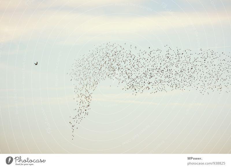 antreiber Himmel Vogel hoch Tiergruppe fliegend Schwarm Angriff Vogelschwarm Falken