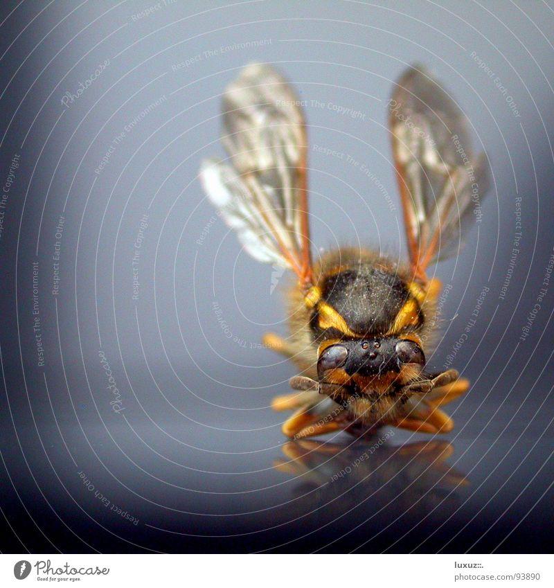 Keep Smiling! Biene Wespen Insekt gestreift Schneidersitz Abheben grinsen frontal Freude erzwungen Flügel Mund Pfeifen pfiff
