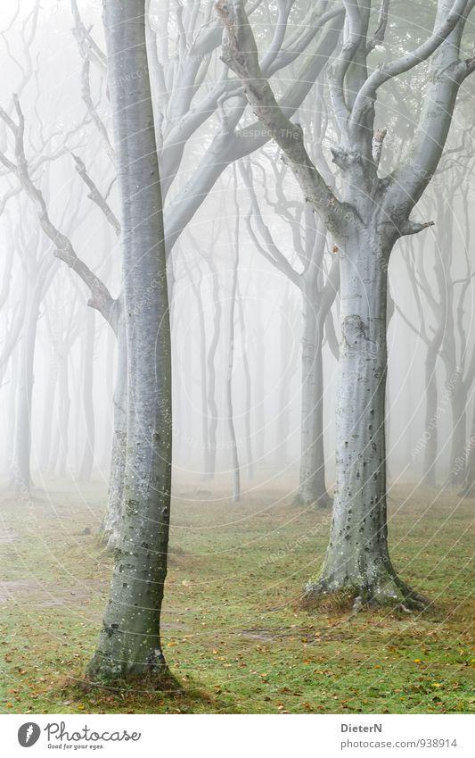 Schleier Natur grün weiß Baum Landschaft Wald Herbst Gras grau Wetter Nebel Buchenwald Gespensterwald