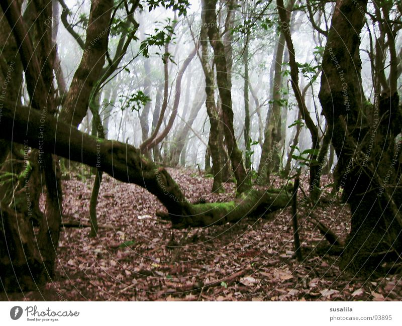 nebelwald Baum Blatt Wald mystisch Verhext Gomera