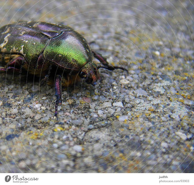 Glitzerkäfer Natur grün schön Tier Frühling Stein Garten Beine gold fliegen glänzend kaputt Flügel Insekt Käfer krabbeln