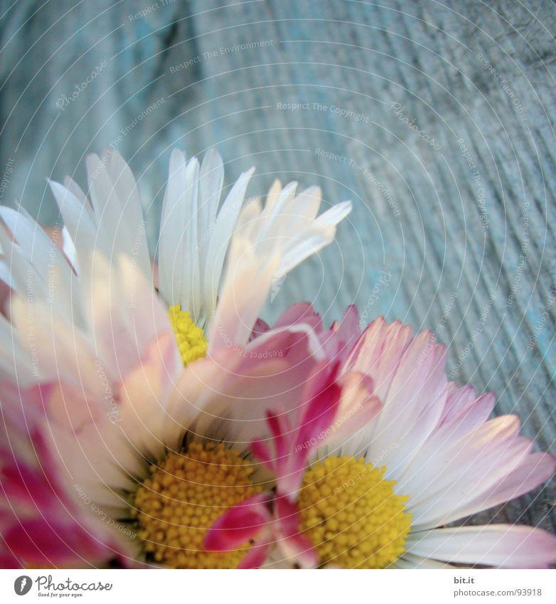 GEBURTSTAGSBLÜMCHEN Philosoph Wiese Romantik rosa Gänseblümchen Frühling Alm Waldlichtung Hippie Bergwiese Schundroman Blumenstrauß Dorfwiese Schwärmerei