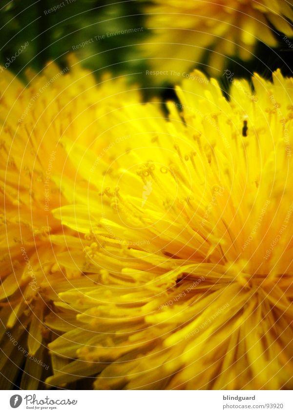 Pusteblume in spe Blume gelb Sommer bestäuben Makroaufnahme Unschärfe Pflanze Löwenzahn Nahaufnahme Frühling peter lustig Samen dandelion flower sharp blur