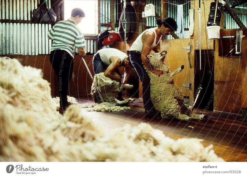 hard working man III Neuseeland Arbeit & Erwerbstätigkeit bücken Schaf Schafe scheren Wolle Schweiß Physik heiß stickig anstrengen Fell Tier Schurwolle Landwirt