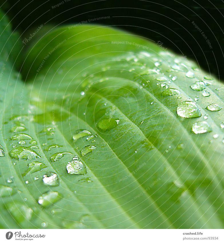 Drops II nass schwarz grün feucht dunkelgrün gestreift Klarheit Pflanze Salatblatt Wassertropfen Regen Außenaufnahme Makroaufnahme Nahaufnahme Garten