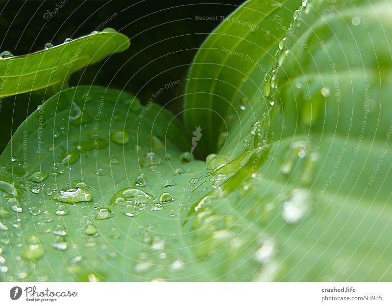 Drops III nass schwarz grün feucht dunkelgrün gestreift Klarheit Pflanze Salatblatt Wassertropfen Regen Außenaufnahme Makroaufnahme Nahaufnahme Garten