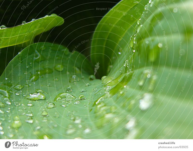 Drops III Natur Pflanze grün Wasser schwarz Garten Regen Wassertropfen nass Klarheit nah Kristallstrukturen gestreift feucht Salat Lebensmittel