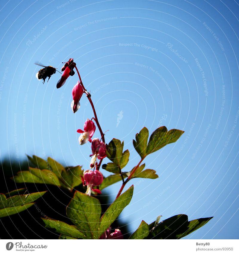 Das Hummel-Paradoxon Tränendes Herz Pflanze Insekt Biene Sammlung Staubfäden Nahrungssuche Luftverkehr Himmel Natur Nektar Bestäuberinsekt