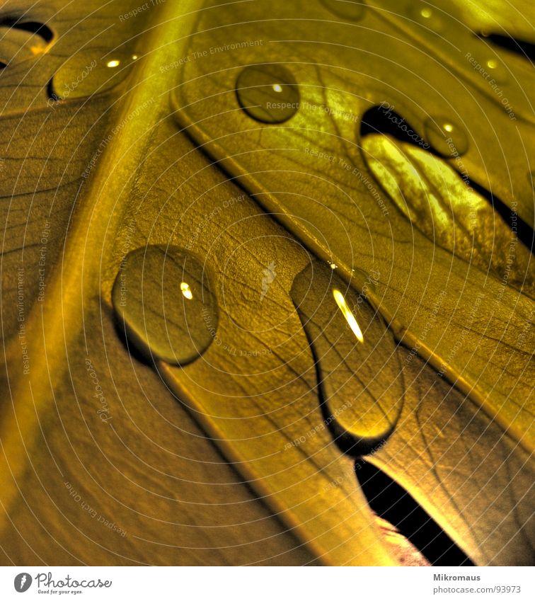 Wasserperle Blatt Pflanze Natur Herbst Trinkwasser Wassertropfen nass feucht Regen Tau Blattadern Gefäße Trauer Makroaufnahme welk gold Abendsonne Schatten