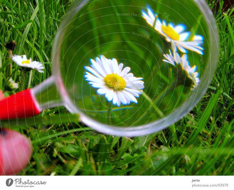 Makro Natur Blume Wiese Gras Gänseblümchen Lupe Durchblick