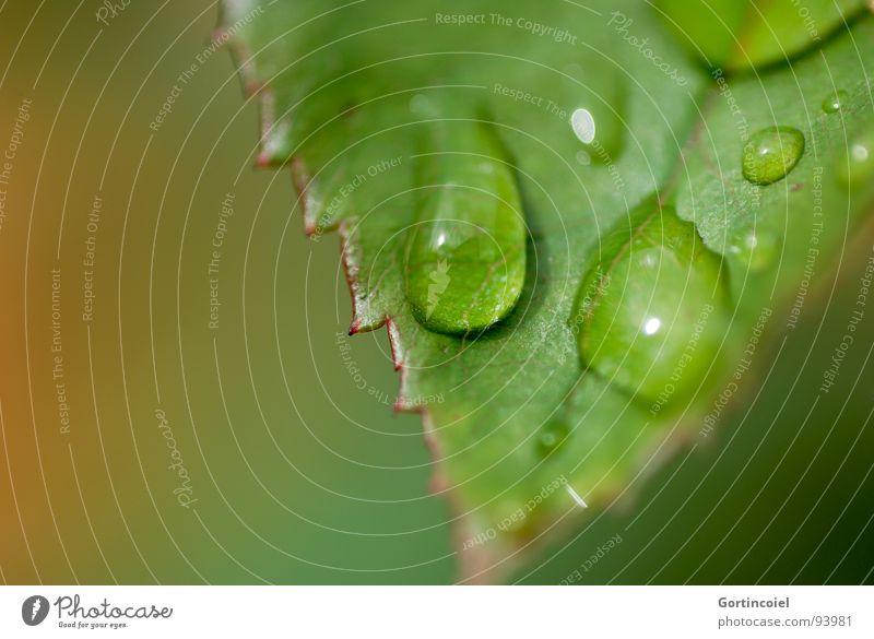 Rain - Leaves - Drops - Behind Pflanze Wasser Wassertropfen Regen Blatt grün Zacken Rosenblätter Herbst Farbfoto Nahaufnahme Makroaufnahme Textfreiraum links