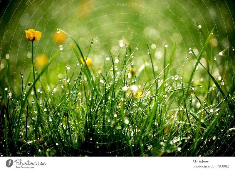 Morgentau Gras Tau Erholung baumeln ruhig Halm Wiese stehen vertikal Sonnenaufgang Naturliebe grün Sonnenstrahlen Hintergrundbild Sträucher Pflanze Leben