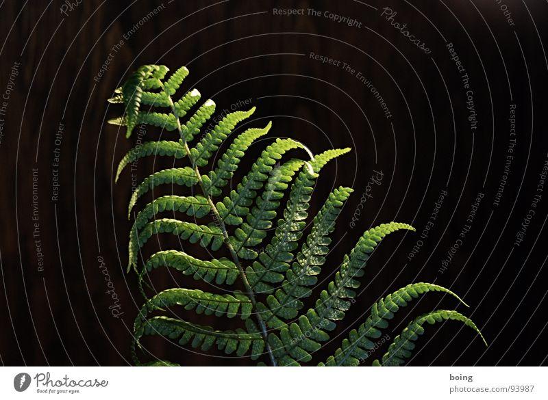 Schön ist es auf der Welt zu sein, wenn die Sonne ... Echte Farne Urwald Schatten Nacht 7 8 wehen Entertainment Blattwedel Wedel