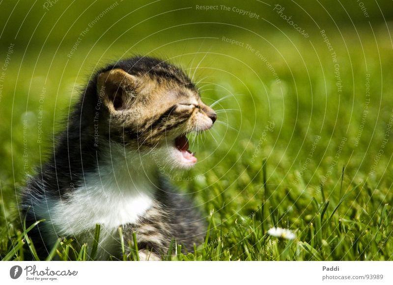 Komm mir nicht zu nah.... Katze Katzenbaby Miau Gras süß klein winzig Tiefenschärfe gefährlich fauchen sprechen grün Sommer Physik heiß Wiese Angst Panik