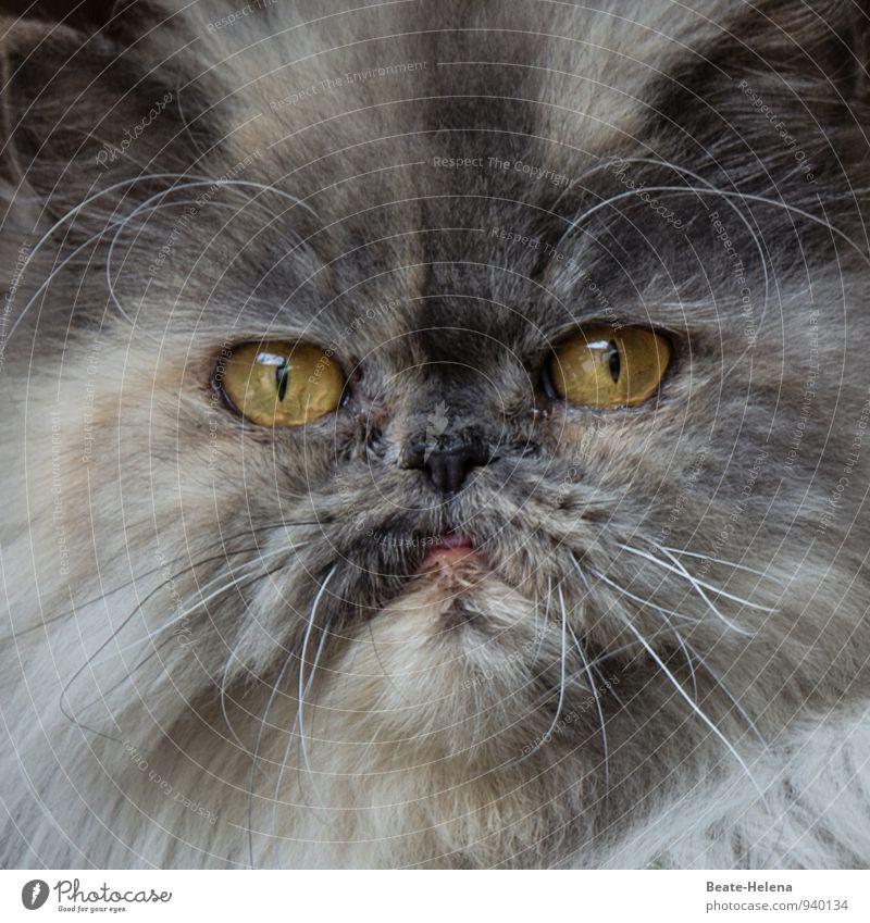 Kein Grund für Überheblichkeit | 500 Katze weiß Erotik Tier dunkel gelb grau Kraft ästhetisch beobachten bedrohlich Fell Leidenschaft Tiergesicht Aggression