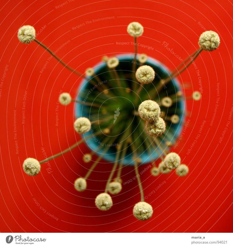 Blümelein Blume rot Topf Blumentopf Topfpflanze Pflanze Stengel grün Tiefenschärfe Farbenspiel außerirdisch interessant außergewöhnlich aufregend blühte blau