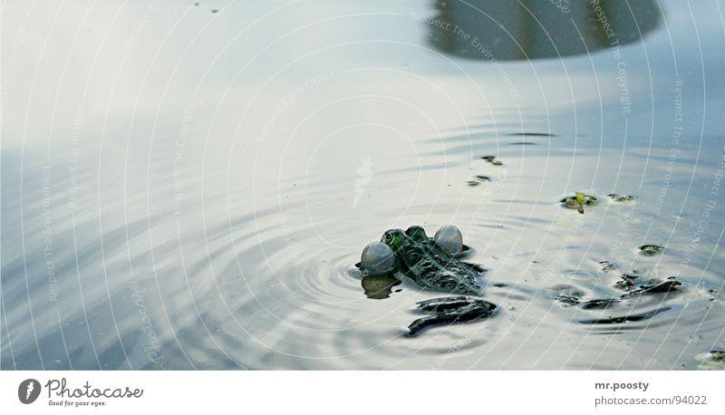ich verdrück mich! Wange Teich Gewässer Wellen Reflexion & Spiegelung Brunft laut abweisend Molch Lurch Froschlurche stur Grasfrosch Franzosen Ekel Glätte