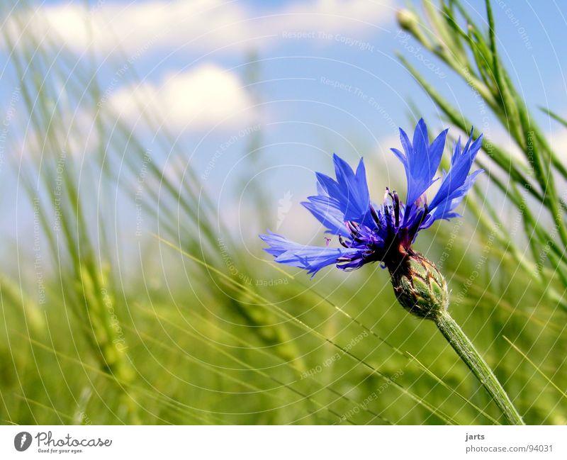 kornblumenblau Himmel Blume blau Sommer Wolken Feld Getreide Landwirtschaft Korn Kornfeld Biologische Landwirtschaft Kornblume