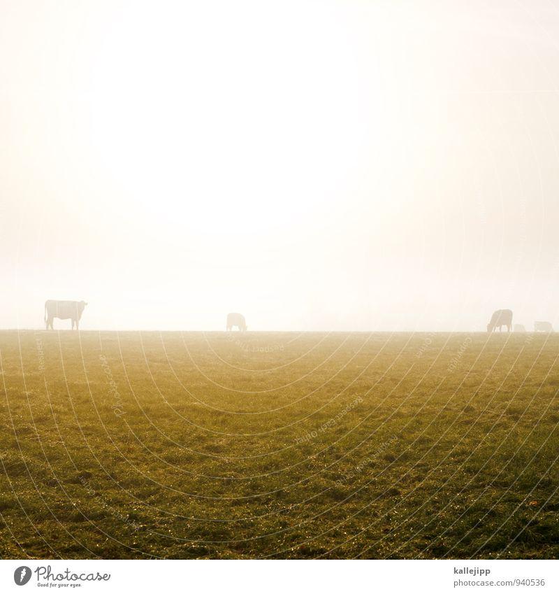 familie muh Landwirtschaft Forstwirtschaft Tier Nutztier Kuh Herde gold Nebel Herbst herbstlich Wiese Weide Horizont Fressen Grasland Farbfoto Außenaufnahme Tag