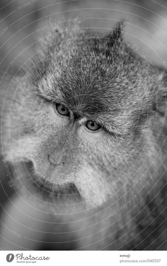 alt Tier grau Wildtier niedlich Fell Zoo Affen