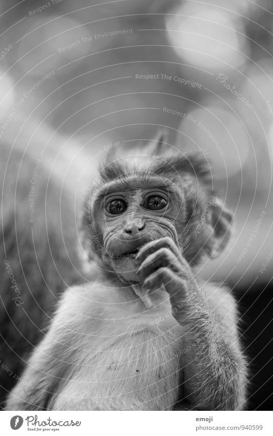 jung Tier Wildtier Zoo Affen 1 Tierjunges niedlich grau Schwarzweißfoto Außenaufnahme Menschenleer Tag Schwache Tiefenschärfe Froschperspektive Tierporträt
