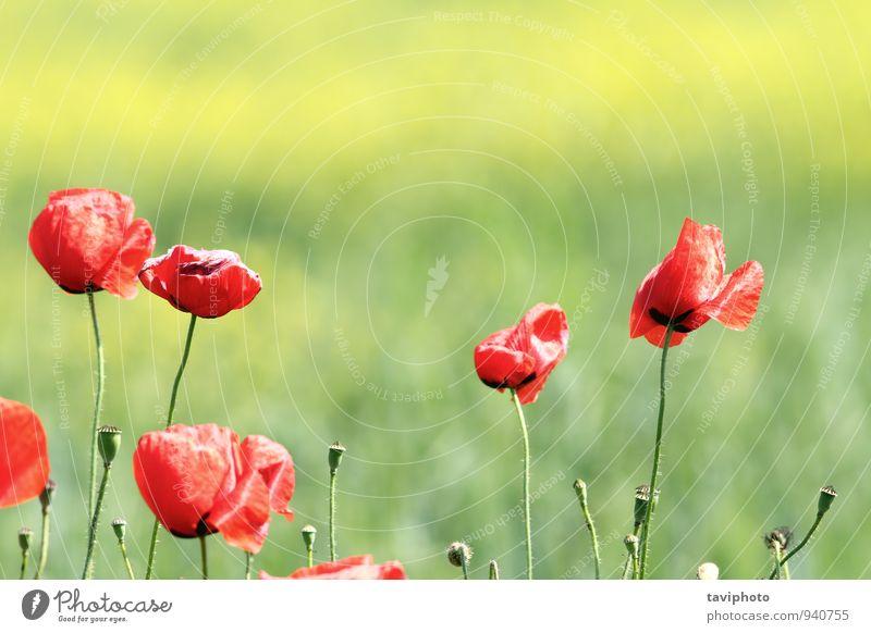 Mohnblumen im Wind schön Sommer Garten Umwelt Natur Landschaft Pflanze Blume Gras Blüte Wiese Wachstum hell natürlich Sauberkeit wild blau grün rot Farbe Feld