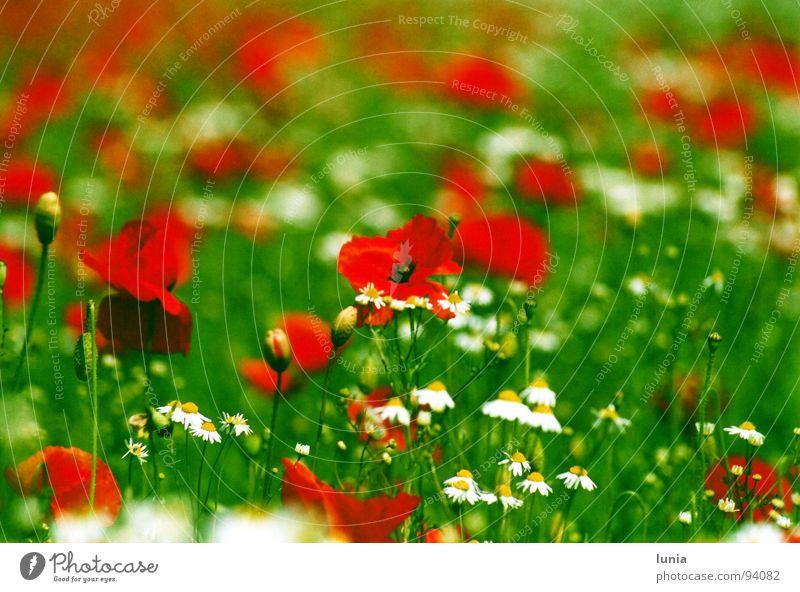 Mohn trifft Kamille Wiese Gras grün rot weiß gelb Sommer Unkraut Heilpflanzen