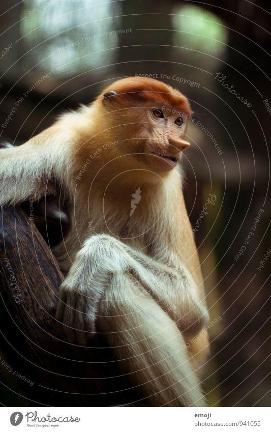 Affe Tier wild Wildtier Tiergesicht Zoo Affen