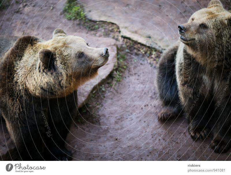 es liegt was in der luft... Tier Wildtier Zoo Bär 2 Tierpaar Tierfamilie beobachten Blick warten braun Vertrauen Einigkeit loyal Freundschaft Wachsamkeit
