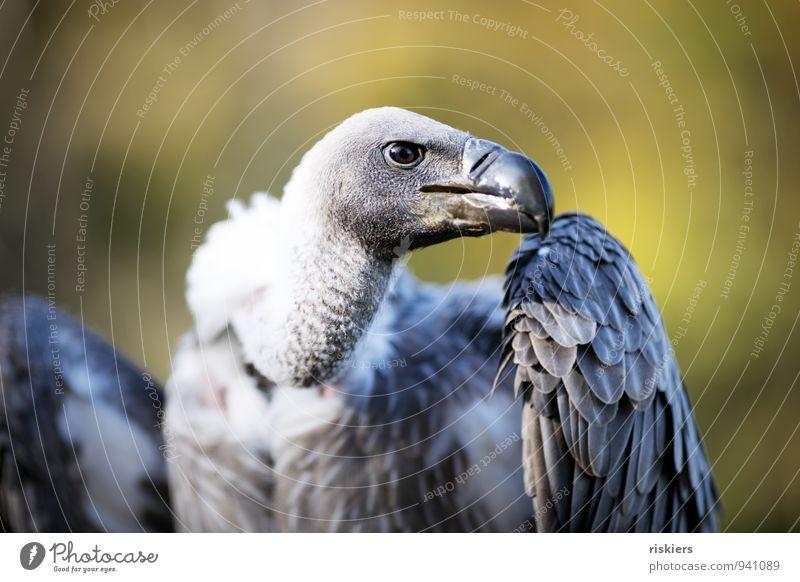 big boss Tier Wildtier Vogel Tiergesicht Flügel Zoo Geier Greifvogel 1 beobachten Blick Aggression ästhetisch bedrohlich gigantisch listig stark wild Ehre Kraft