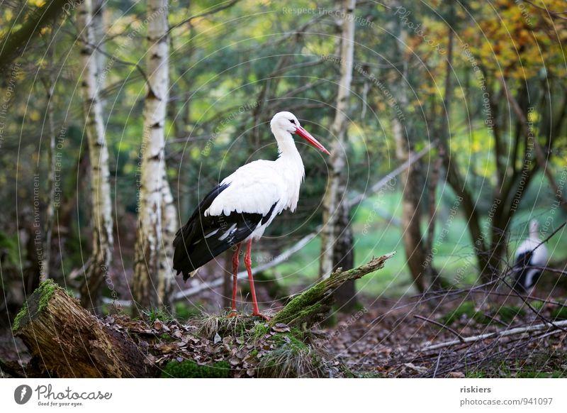 Storch im Wald Umwelt Natur Herbst Tier Wildtier Vogel 2 gehen natürlich Neugier Schutz Geborgenheit achtsam Wachsamkeit Farbfoto Außenaufnahme Kontrast