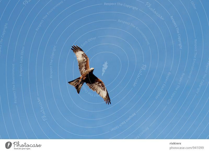 frei Tier Wildtier Vogel Roter Milan 1 beobachten fliegen ästhetisch Ferne schön Wachsamkeit geduldig ruhig elegant Freiheit Himmel (Jenseits) Farbfoto