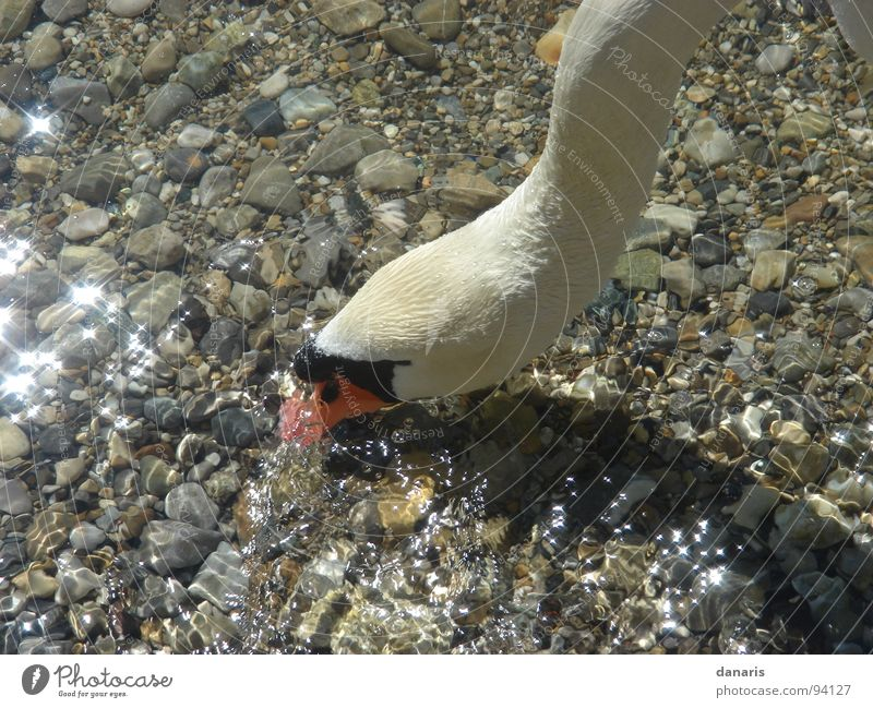 Blub, blub...nicht den Kopf in den Kies stecken... Natur Tier See Vogel Fressen Schwan Starnberg