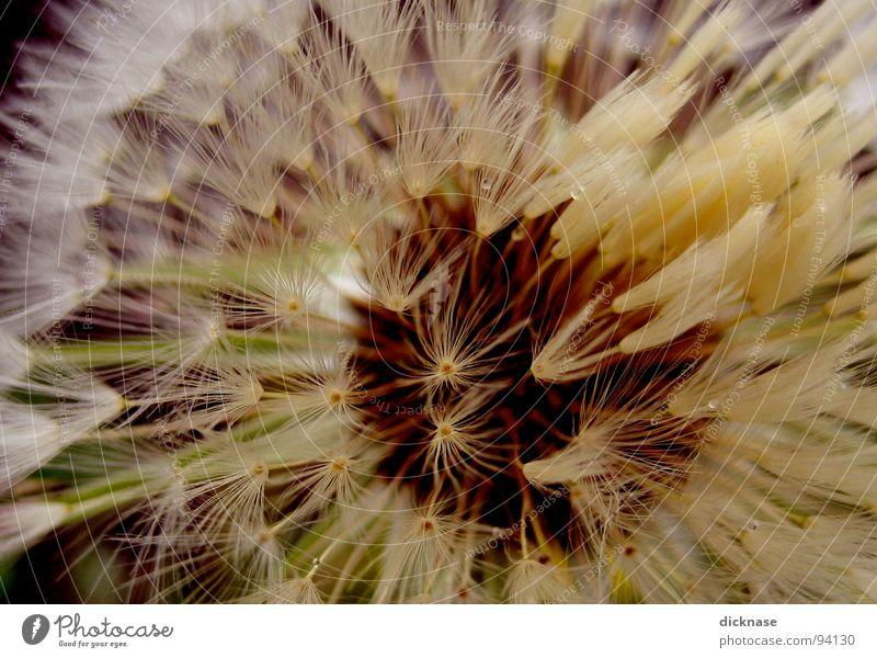"""""""BlowBack""""Flower aka """"die gemeinhin bekannte Pusteblume..."""" Löwenzahn Zoomeffekt Makroaufnahme Kontrast Bildausschnitt Anschnitt Detailaufnahme"""