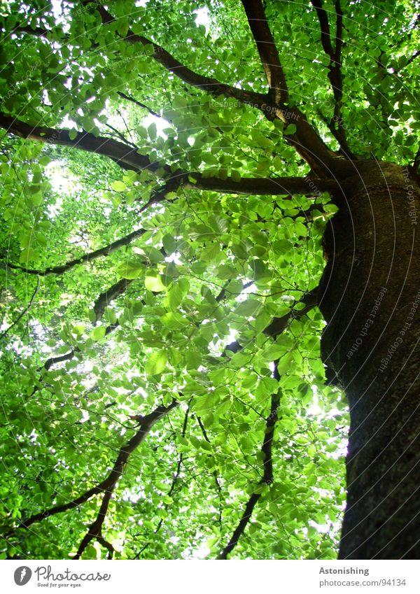 Blättermeer Sommer Umwelt Natur Pflanze Baum Blatt Grünpflanze Wachstum alt hoch grün schwarz Perspektive Baumstamm Baumrinde Rascheln Ast Baumkrone Buche schön