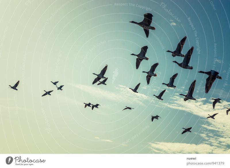 Ab in den Süden Ferien & Urlaub & Reisen Tourismus Sommerurlaub Natur Tier Himmel Herbst Schönes Wetter Luftverkehr Vogel Wildgans Vogelschwarm Tiergruppe