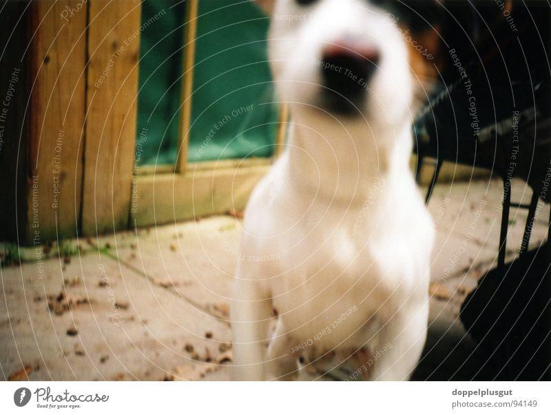 Neugier springen Hund Nase Seil unten Säugetier Tier Beagle