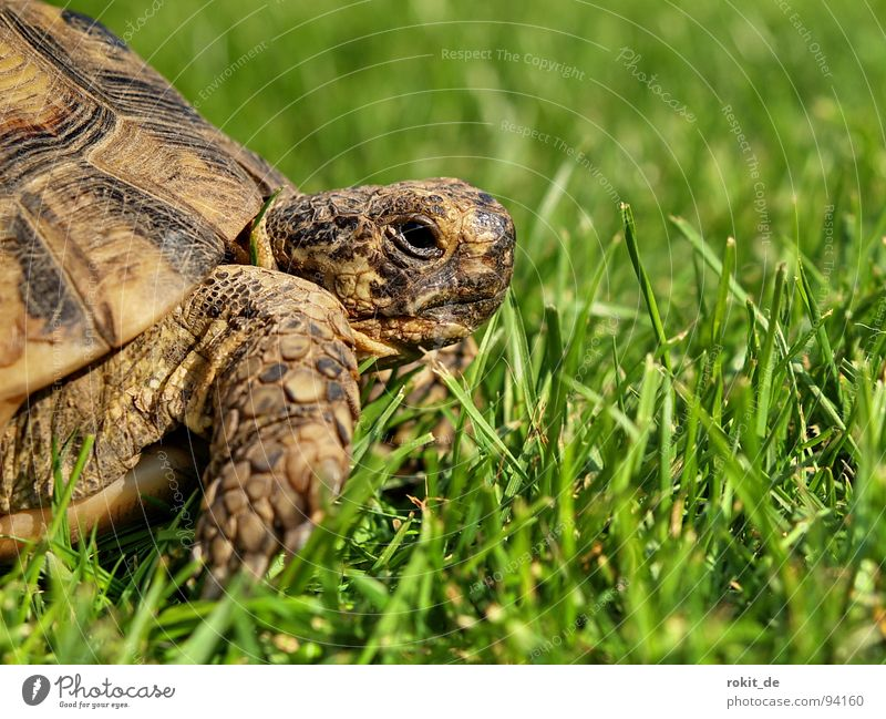 FLOCKI I. alt Sommer Gras Feste & Feiern Vertrauen verstecken Jahr atmen Haustier Scheune hart Treue Krallen langsam wach Schildkröte