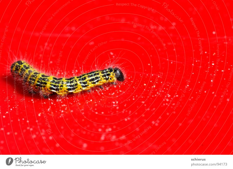 Ich seh` rot... Natur Tier Farbe Insekt Schmetterling Raupe Metamorphose