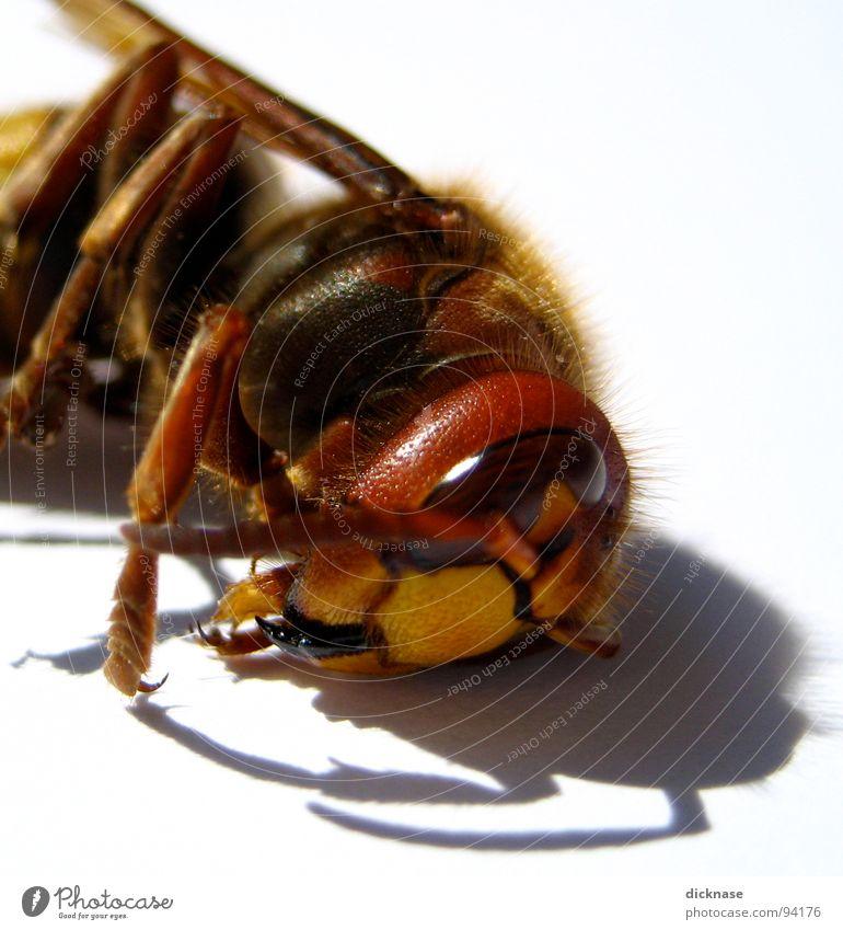 ...die schläft nur! weiß rot schwarz Auge gelb Erholung Beine Angst Arme fliegen schlafen gefährlich bedrohlich Flügel Maske Respekt